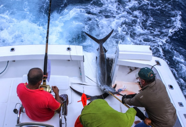 $20 thousand prize for biggest fish in Seychelles' Marlin Slam