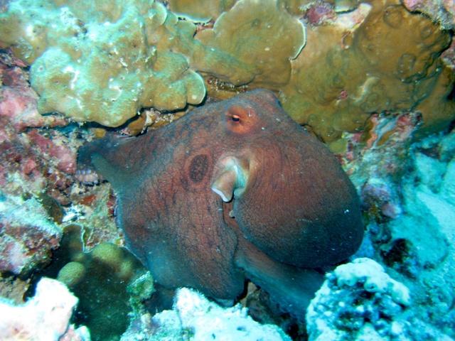 Pêche de poulpe menacée par la surexploitation