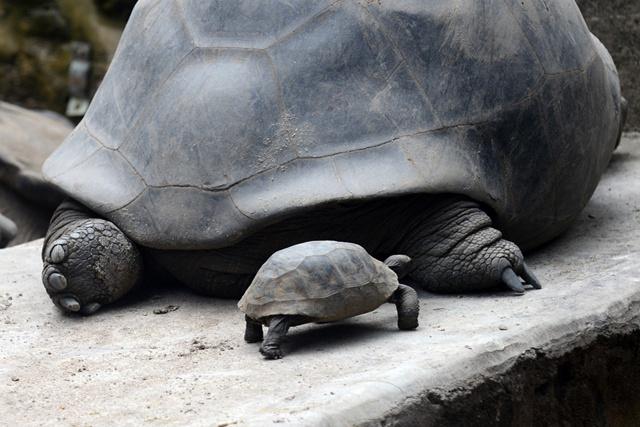 Maurice met en vente des tortues d'Aldabra.
