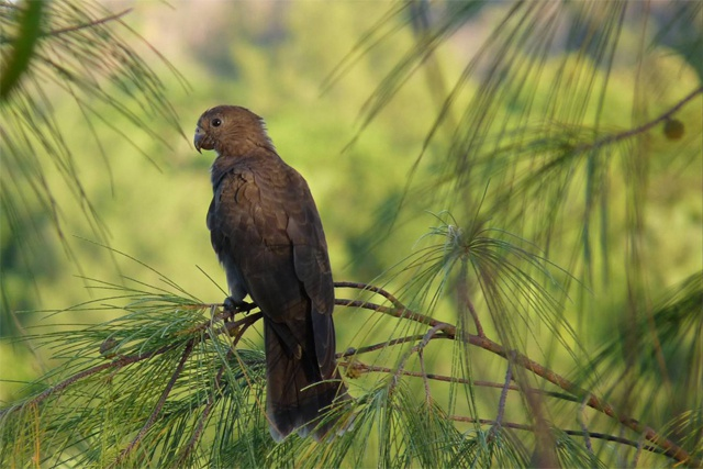 Seychelles black parrot declared endemic bird species by BirdLife International experts