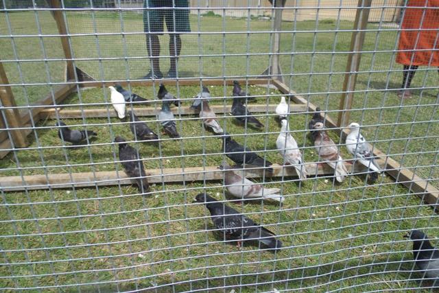 Les pigeons menacent les écoles des Seychelles