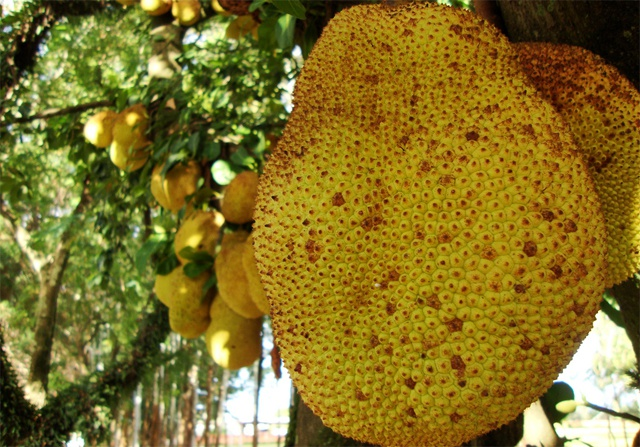 Jackfruit – Could it help feed the planet?