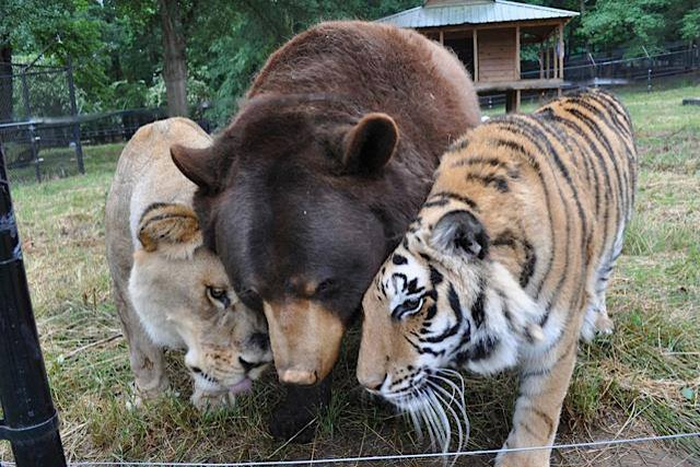 A page right out of the Jungle Book – meet the lion, tiger and bear who are all best friends