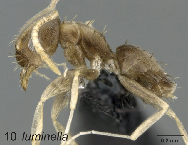 Two new species of ant discovered in Seychelles