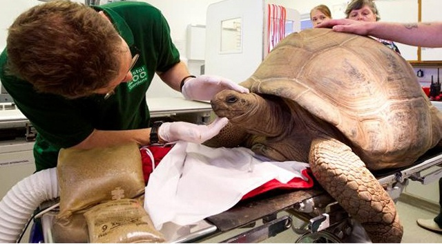 Bristol Zoo treats Helen the Aldabra giant tortoise for nasal infection