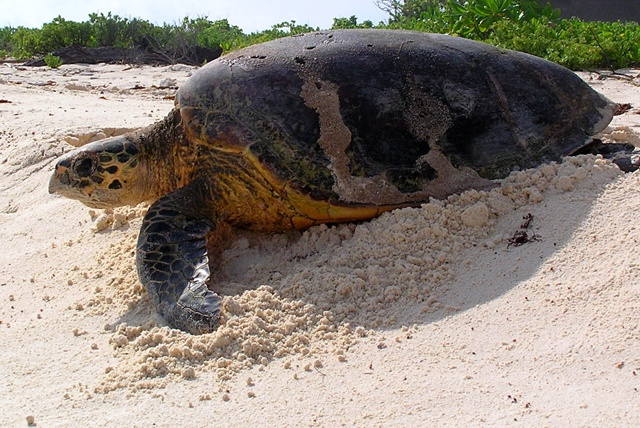 Satellite tracking reveals green turtles travel staggering distances across Indian Ocean