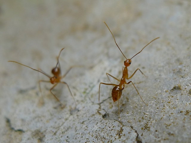 Yellow crazy ants threaten biodiversity in Seychelles' UNESCO World Heritage Site of Vallée de Mai