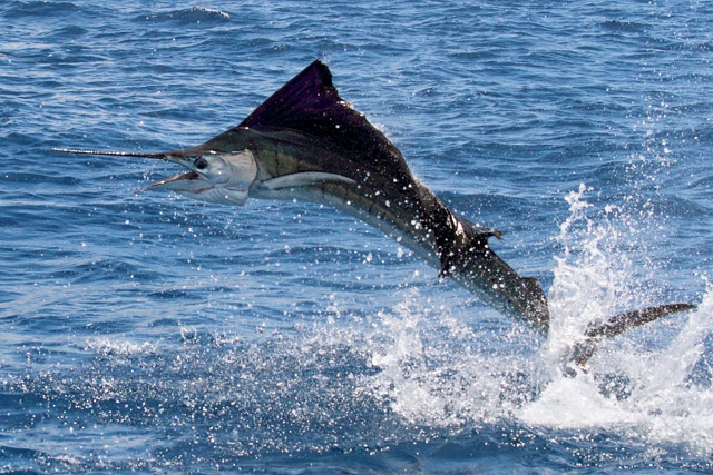Seychelles Sports Fishing - Sailfish Tournament targets big game in addition to being conservation minded
