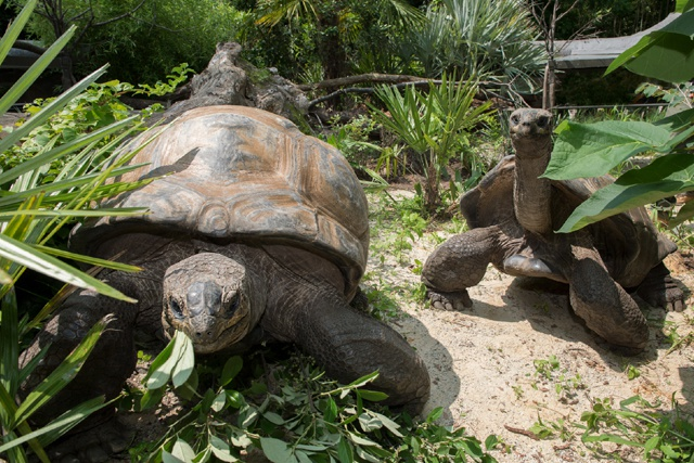 Old age is back in style! Ancient Aldabra giant tortoises excite visitors at New York's historic Bronx Zoo