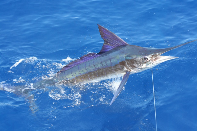 Seychelles anglers to contribute on improving available data on billfish – SSFC organising first IGFA Great Marlin Race