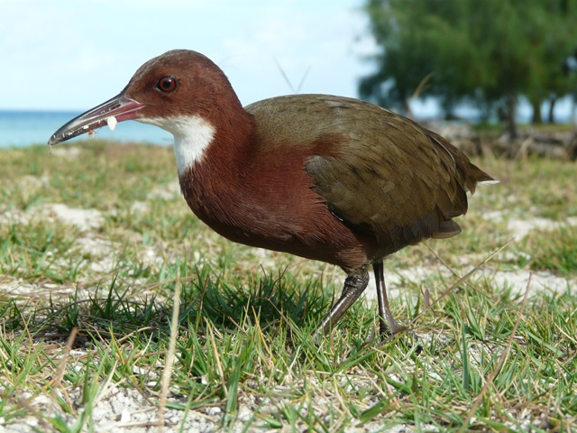 Seychelles Islands Foundation working to classify Aldabra Rail as a separate species