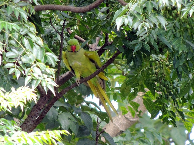Green parrots confirmed in Vallée de Mai - Future of the Seychelles black parrot population in peril