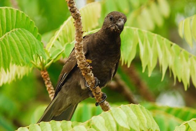 La perruche à collier introduit aux Seychelles pourrait menacer « le perroquet noir » de Praslin