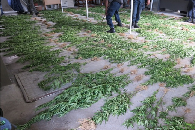 Seychelles drug enforcement agency disrupts cannabis growing operation as 400 plants are uprooted
