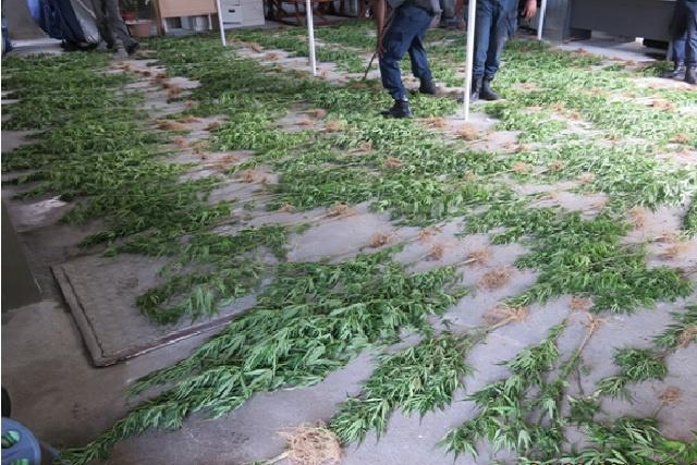 La brigade antidrogue des Seychelles NDEA détruit 400 plants de cannabis