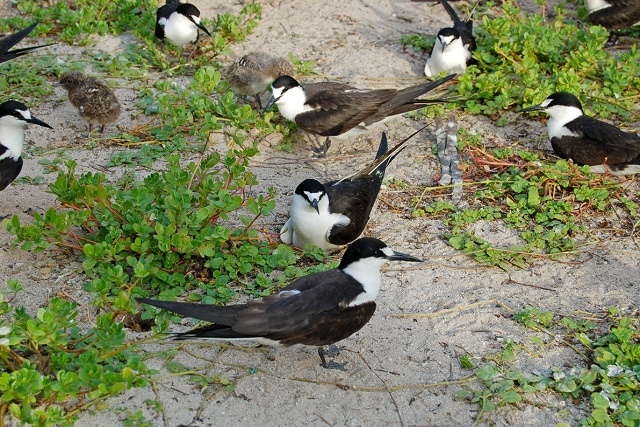 Sooty terns' struggle for food leads to concern for nesting populations in Seychelles
