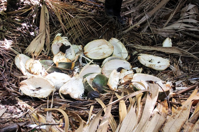 Shock and horror as poachers strip iconic Vallée de Mai tree of endangered coco-de-mer nuts