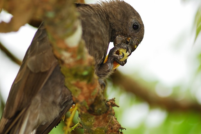 Seychelles black parrot prefer feeding on endemic species, reveals new research