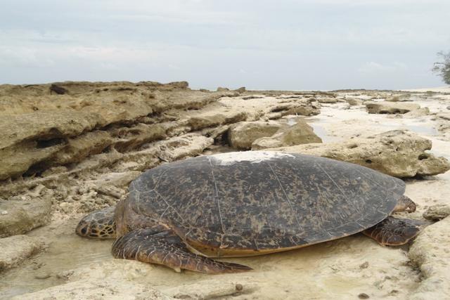 L'atoll d'Aldabra, aux Seychelles, reconnu comme un lieu de ponte important pour les tortues marines