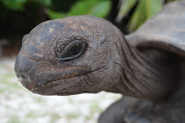 A giant panda case study for a giant tortoise in need of extra protection: Seychelles botanical gardens to learn from China