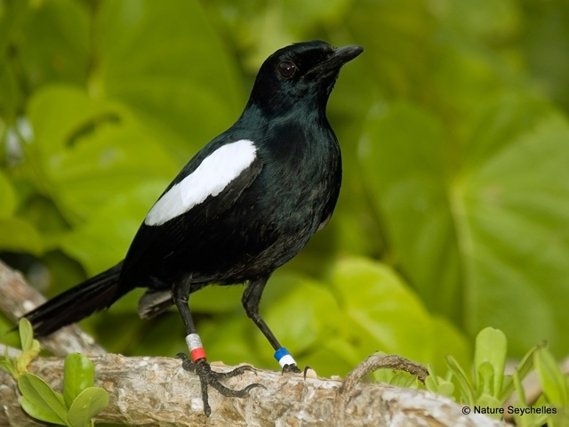 British charity drive aims to help Seychelles solve mystery magpie robin illness