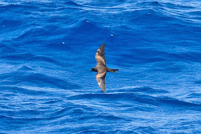 Rare and enigmatic Matsudaira's Storm-petrel seabirds sighted in Seychelles opening eco-tourism potential in the Indian Ocean