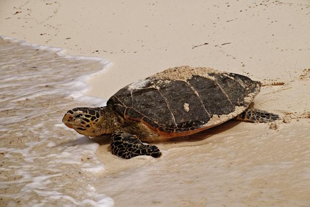 Des recherches révèlent l'un des secrets les mieux gardés sur les tortues des Seychelles
