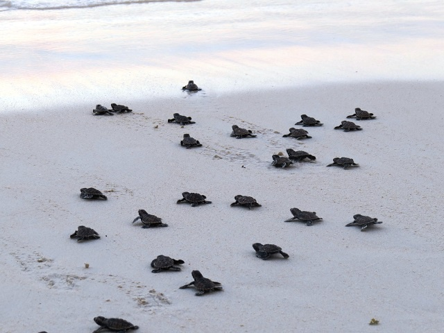 A box full of babies! Seychelles' tiny turtles are helped into the sea on Praslin Island
