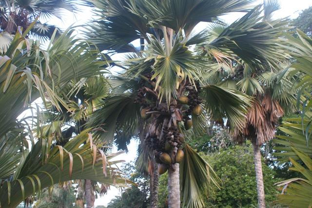 Des braconniers arrêtés par la police des Seychelles après avoir volé des cocos de mer