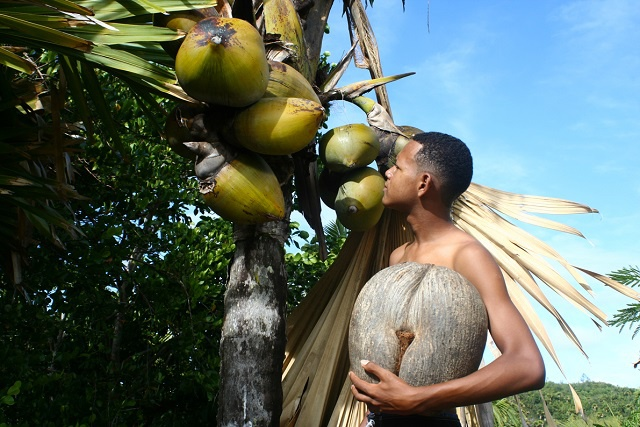 Surviving almost impossible odds – how the Seychelles Coco-de-Mer palm parents its seeds