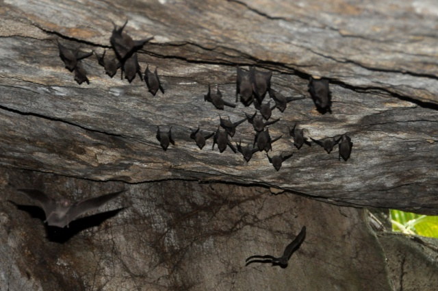 Living on the edge: Conservationists helping the Seychelles sheath-tailed bat to fight for survival