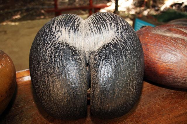 Les Seychelles vont prendre de nouvelles mesures pour lutter contre le braconnage du coco de mer.