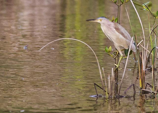 Sauver le Butor Jaune des Seychelles - C'est l'appel d'Adrian Skerrett qui est un grand passionné d'oiseaux