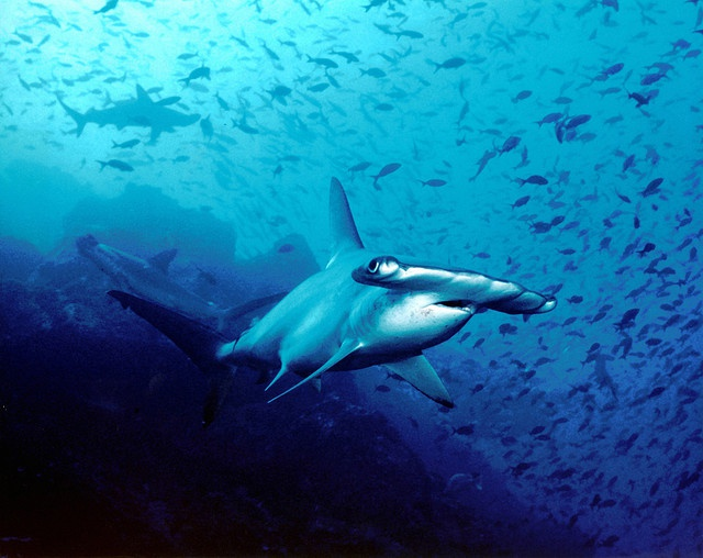 Seychelles' shark exports under the spotlight as study on hammerhead shark fishing is launched