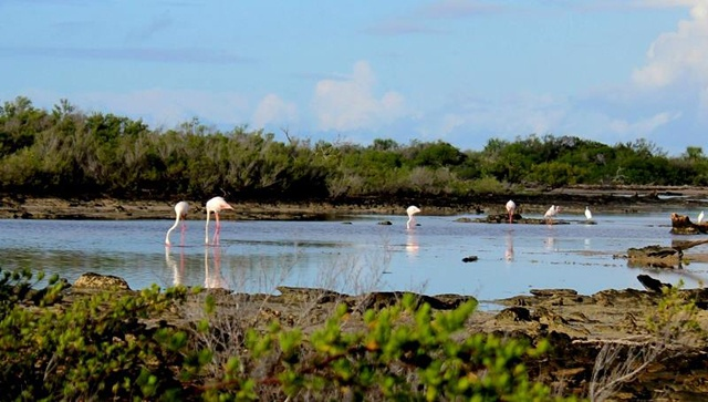 The pink birds of paradise - rare flamingos spotted on Seychelles atoll of Aldabra