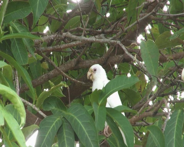 It's not a hoax! Immaculately 'white' black parrot spotted on the Seychelles island of Praslin