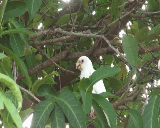 Un Perroquet noir d'un blanc immaculé repéré sur l'île de Praslin aux Seychelles