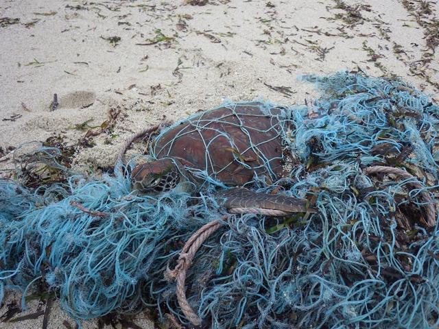 Chanceuse d'avoir échappé à un « filet fantôme » : les agents de conservation des Seychelles ont sauvé la vie d'une tortue marine