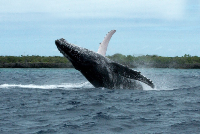 Whale, I'll be! First humpbacks of the season spotted off Seychelles atoll of Aldabra