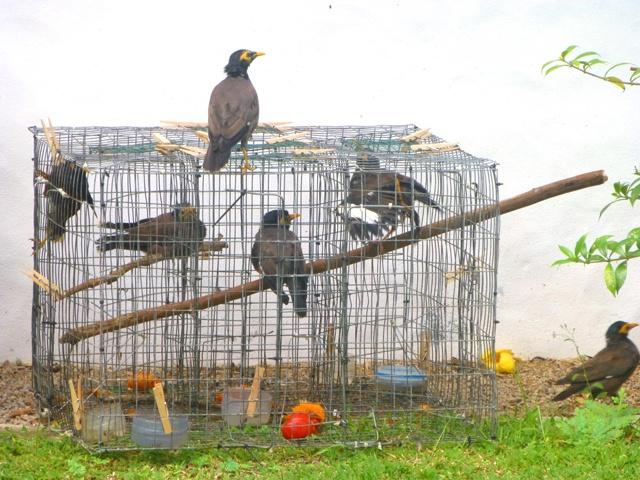 Myna free! Denis island eliminates bird predator to protect endemic birds of Seychelles