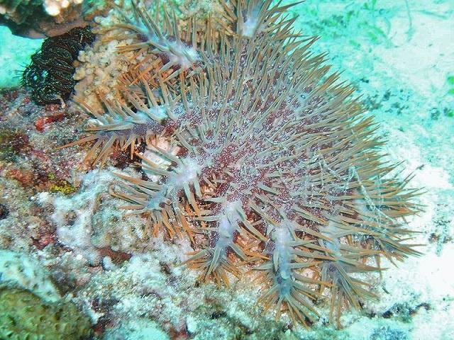 Une solution envisageable aux Seychelles ? Un robot Australien conçu pour rechercher et détruire les étoiles de mer venimeuses