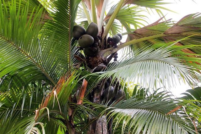 Les Seychelles imposent des peines plus sévères pour lutter contre le vol des cocos de mer.