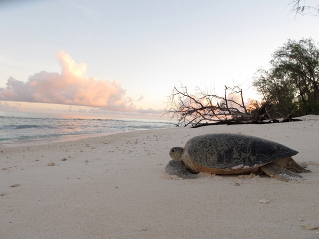 'A very rare record'! Green turtle switch nesting grounds from Seychelles atoll of Aldabra to Tanzanian island
