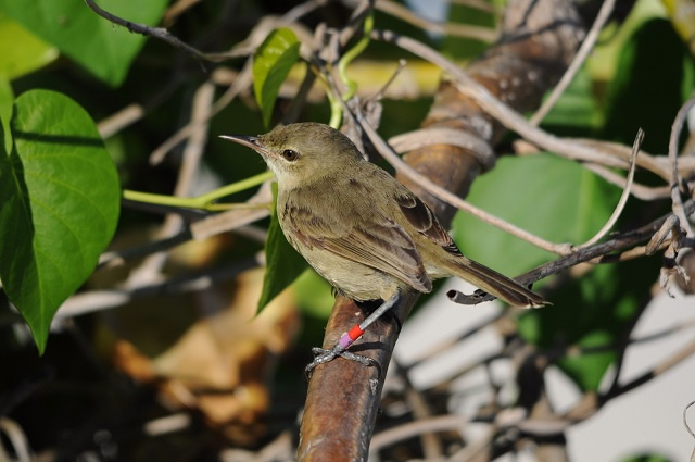 A rare conservation success – Seychelles warbler moves to lowest threat category on the IUCN's red list