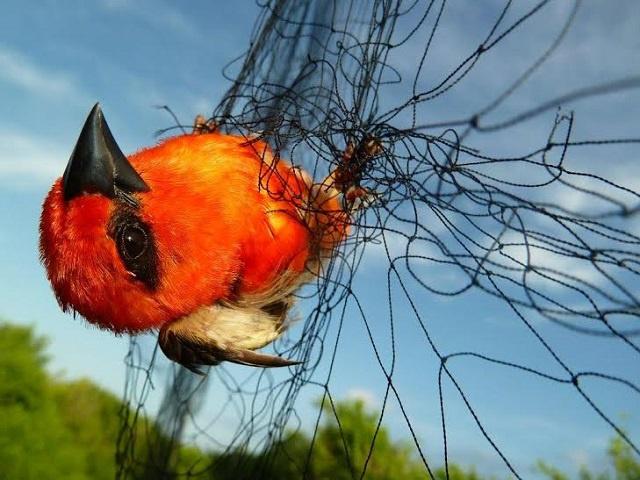L'espèce envahissante du Foudi rouge serait éradiquée d'Assemption île des Seychelles