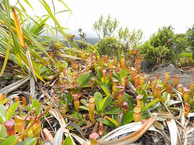 La population de la sarracénie des Seychelles est estimée à environ mille.