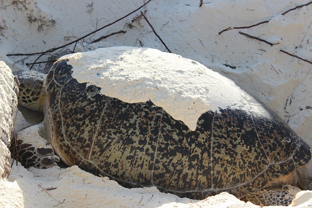 Curieuse island beaches a humanless haven for sea turtles, report says