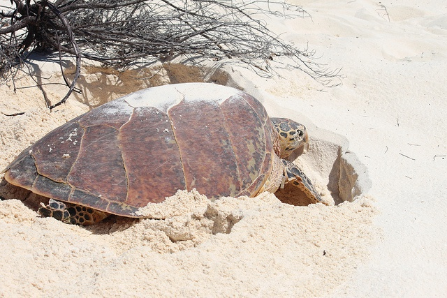 Les tortues à écailles se sentent en sécurité aux Seychelles pour pondre des œufs en plein jour
