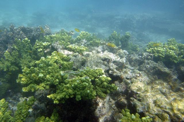 La Grande barrière de corail présente des signes de blanchiment