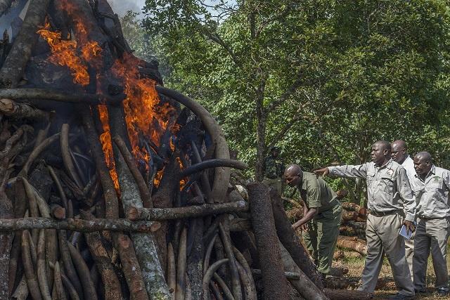 Le Malawi brûle 2,6 tonnes d'ivoire saisies en provenance de Tanzanie